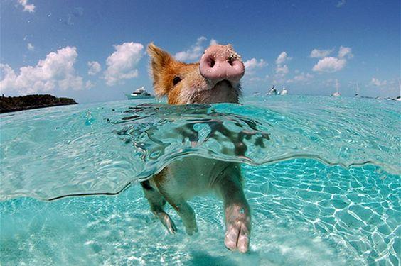 Incontournables : Une île peuplée de cochons dans les Bahamas