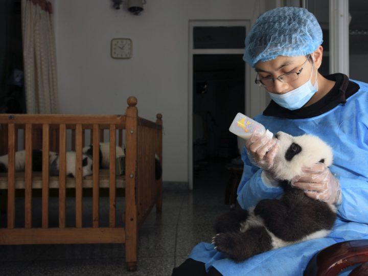 Tourisme responsable : Du bénévolat pour les pandas ?